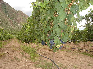 Malbec grapes on the vine in the Cafayate wine...