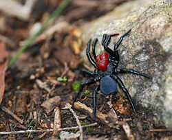 Male Missulena occatoria spider - Para Wirra.JPG