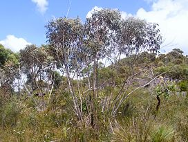 Mallee Ku-ring-gai Chase National Park.JPG