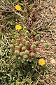 Malta - Marsaxlokk - Triq Delimara - Xrobb L-Ghagin - Euphorbia pinea 04 ies.jpg