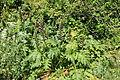 Malta - Siggiewi - Triq il-Buskett - Buskett Gardens - Acanthus mollis 02 ies.jpg