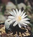 Mammillaria albiflora 2.jpg