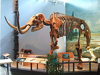 Mounted mastodon skeleton, Museum of the Earth .