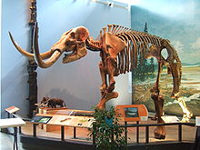 Kerangka mastodon yang disusun, Museum of the Earth .