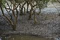 Mangrove Roots - Godkhali - South 24 Parganas 2016-07-10 4967.JPG