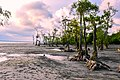 Mangrove trees.jpg