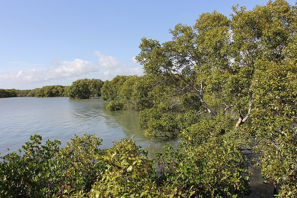 Mangroves Immediately South of Toondah Harbour, Cleveland, Queensland, 2014