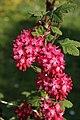 Mani ziedi My flowers - panoramio (7).jpg