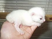 A week old female Manx kitten. Note the stumpy tail.