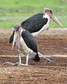 Marabou Stork, Leptoptilos crumeniferus, at the aptly named Marabou Pan, Savuti, Chobe National Park, Botswana (32787015755).jpg