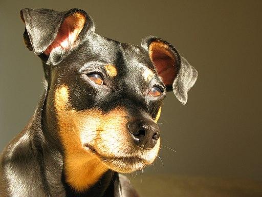 Marabuchi - Riley the Miniature Pinscher discover dogs