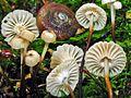 Marasmius rotula 224073.jpg