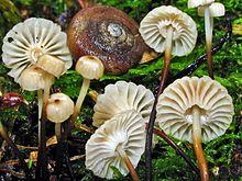 Marasmius rotula - Wikipedia