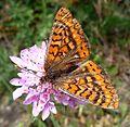 Marsh Fritillary. Eurodryas aurinia beckeri. - Flickr - gailhampshire.jpg