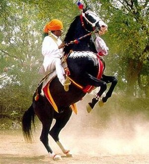 Jodhpurs - Marwari horse in Rajasthan. Note the traditional long riding trousers, tight around the calf, reaching to Mojari slippers.