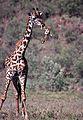 Masai Giraffe (Giraffa camelopardalis tippelskirchi) eating bones (8290751405).jpg