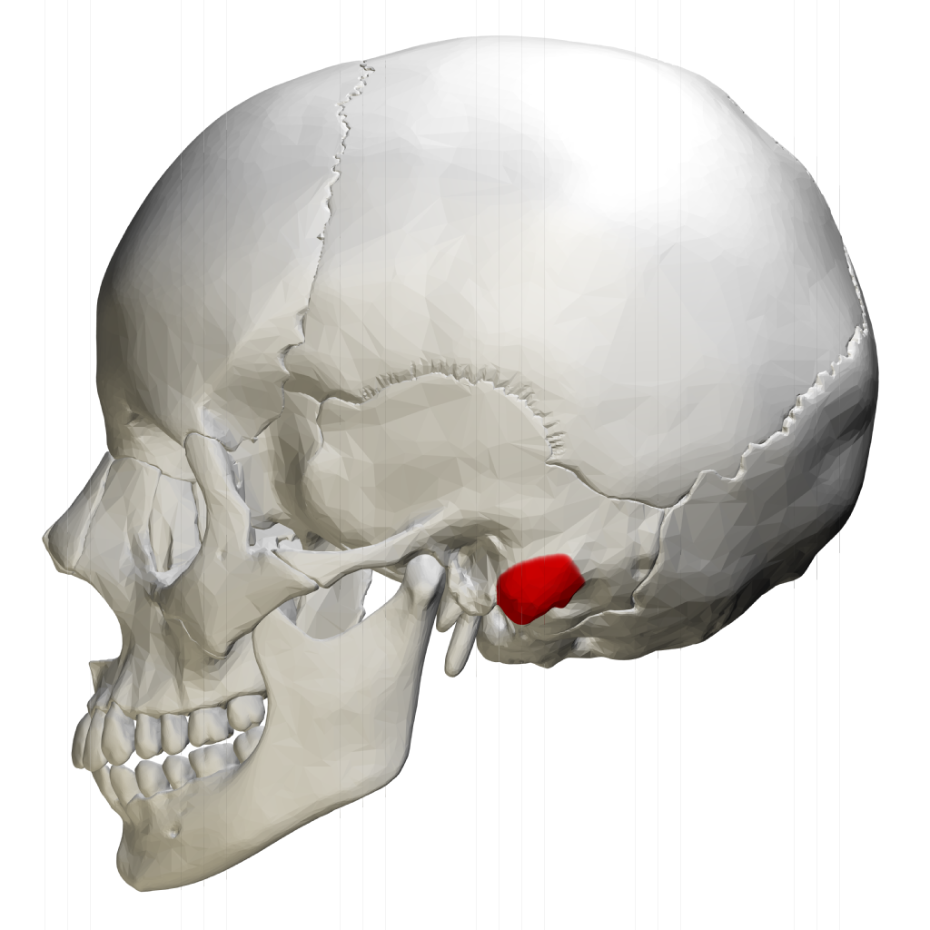 Mastoid process - lateral view