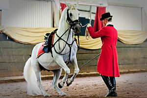 South African Lipizzaners - Rider Simone Howarth and Maestoso Erdem, performing the Levade