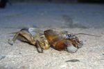 Maulwurfsgrille Gryllotalpidae 20050921.JPG