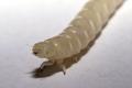 Mealworm (Tenebrio molitor).png