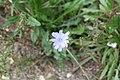 Medicinal Plant Gardens Weleda Schwaebisch Gmuend chicory.jpg