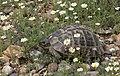 Mediterranean Spur-thighed Tortoise.jpg