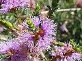 Melaleuca gibbosa (Myrtaceae) flowers.JPG