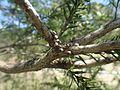 Melaleuca styphelioides fruit.jpg