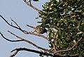 Melaniparus pallidiventris subsp stenotopicus, Mutare, Birding Weto, b.jpg