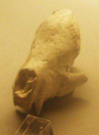 Meles (genus) - Meles thorali fossil skull