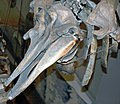 Mesoplodon mirus (True's beaked whale) 9 (30840733930).jpg