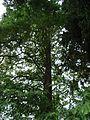 Metasequoia glyptostroboides 2.jpg