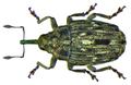 Microplontus campestris (Gyllenhal, 1837) (8477742499).png