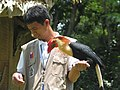 Mindanao Wrinkled Hornbill Aceros leucocephalus captive.jpg