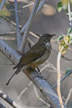Mirlo Garganta Blanca, White Throated Thrush, Turdus assimilis (13362733943).jpg
