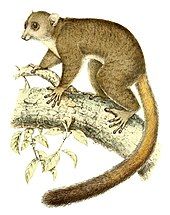 Artistic illustration of a giant mouse lemur climbing on a branch
