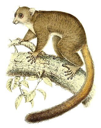 Giant mouse lemur - The giant mouse lemur described by Schlegel and Pollen in 1868 (illustrated above) was considered synonymous with the species described by Grandidier (1867), but was shown to be a distinct species in 2005.