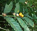 Mitriostigma axillare, loof en vrugte, The Waterberry.jpg