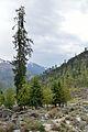 Mixed Trees - Solang Valley - Kullu 2014-05-10 2591.JPG