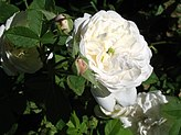 Close-up of a cup-shaped white rose with a bit of green in the centre, with some pale pink rosebuds alongside.