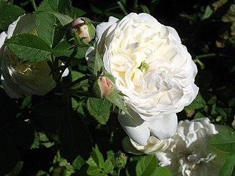 Rosa × alba - 'Mme Plantier'