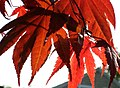 Momiji leaves.jpg