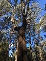 Monga National Park eucalyptus.jpg