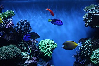 Some colorful fishes swim in front of living corals
