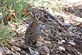 Montezuma Quail (male) South Fork Cave Creek AZ 2015-07-03at12-23-494 (40841386803).jpg