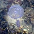 Moon jellyfishes and sea gooseberry in Sandvik 1.jpg