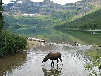 Waterton Lakes National Park - Image: Moose At Cameron Lake