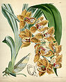 Mormodes uncia (as Mormodes greenei, spelled Mormodes greenii) - Curtis' 95 (Ser. 3 no. 25) pl. 5802 (1869).jpg