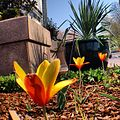 Morning at US Botanic Garden - Tulipa clusiana 'Tubergen's Gem' - in bloom. (8640538834).jpg