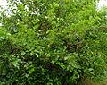 Morus nigra, spring, Most, Czech Rep.JPG